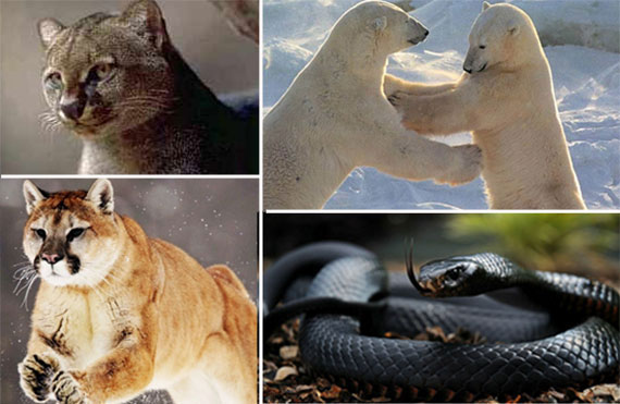 Clockwise from top: A jaguarundi, polar bears, a black mamba and a mountain lion
