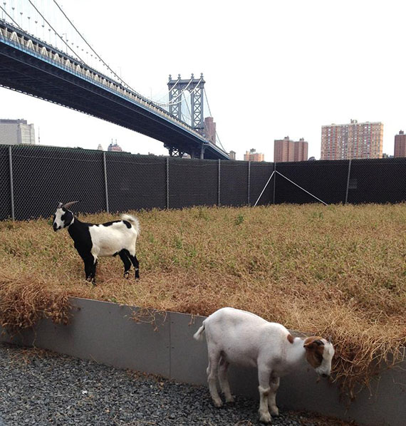 An unlikely site in the city: goats under the Brooklyn Bridge